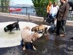 Sirius Dog Run Dogs Playing NYC 9/11 Memorial