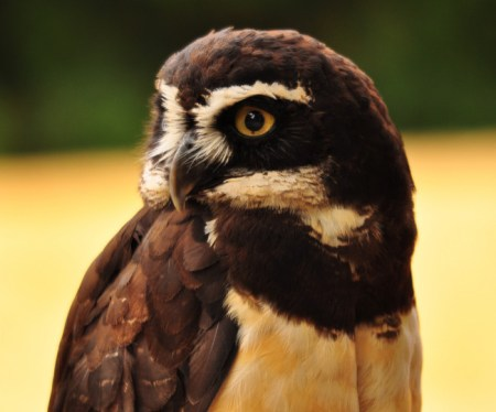 Spectacled Owl found using INaturalist.Org Photo Credit:Chris, some rights reserved (CC BY)
