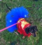 dog dressed as wonder woman for halloween