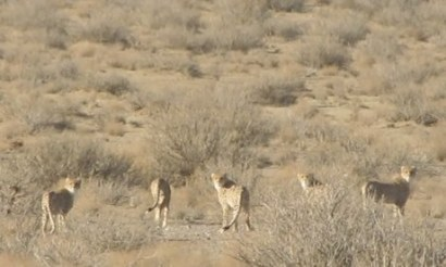 WILDLIFE IN IRAN: Asiatic Cheetahs showing signs of improvement.