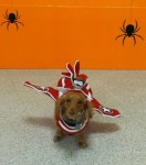 dachshund dog wearing airplane halloween costume