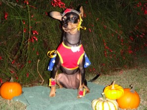 Hokuli'i is a 2-year-old Minpin dressed as Wonder Woman.