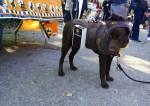 dog wearing UPS man halloween costume