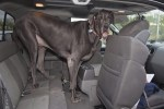 iant George, world's tallest dog ever, fits into a car