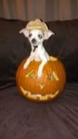 A pup-o-lantern!