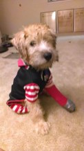 Liadan recently broke her paw jumping off of a chair, so her peg leg really adds to her pirate costume!