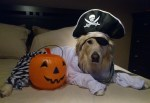 dog wearing pirate hat halloween pet costume