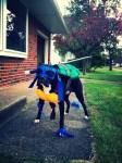 dog wearing teenage mutant ninja turtles leonardo pet halloween costume