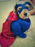 dog in superhero halloween costume
