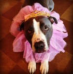 PET HALLOWEEN COSTUME, DOGS AND PUPPIES IN COSTUME, PRINCESS COSTUME, Pitbull dressed as princess