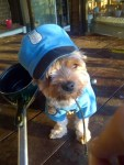 Morkie dog dressed in cop halloween costume