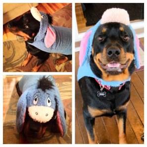 "Three-year-old Rottweiler Nikko Titan as Eeyore from ""Winnie the Pooh!"""