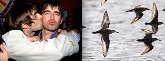 Liam and Noel Gallagher or rock band Oasis in happier times (on left) and Dunlins flying over a flooded field near La Conner, Washington (on right). Photo: NME.com