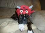 boxer dog as devil, halloween costume