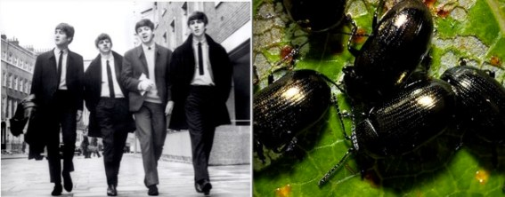 The Beatles: John Lennon, Ringo Starr, Paul McCartney, and George Harrison & a group of leaf beetles. Photo Credit: NME.com/Insectoid.info