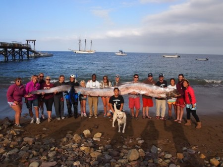 Staff and students of the Marine Institute were shocked when a 38-foot oarfish carcass washed onto shore. Photo Credit: CNN.com