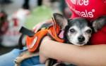 chihuahua dog for adoption at pet adoption event, chihuahua