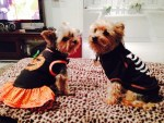 dogs as Pumpkin Princess and Candy Corn pet halloween costumes