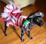 dor wearing pirate pet halloween costume
