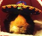hamster mariachi halloween pet costume