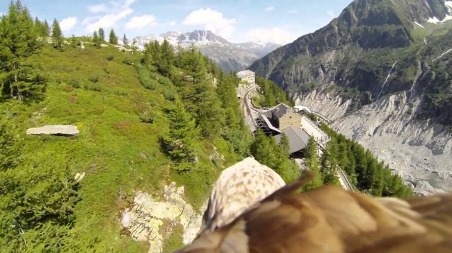 Bald Eagle Bird's Eye View With GoPro Camera