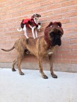 dogs as little red riding hood and big bad wolf halloween costumes