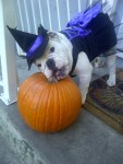 english bulldog dog as witch with pumpkin halloween costume