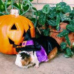 PET HALLOWEEN COSTUMES, WIZARD COSTUME, Guinea Pig in Wizard Halloween Costume