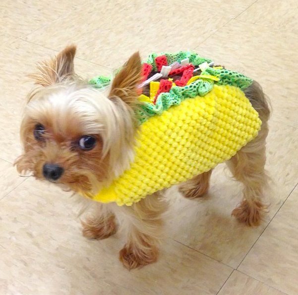 PET HALLOWEEN COSTUMES & DOG COSTUMES FOR HALLOWEEN: Yorkie Yorkshire Terrier in a taco dog costume.
