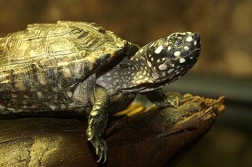 black pond turtle, rare species, animal trafficking, animal trade
