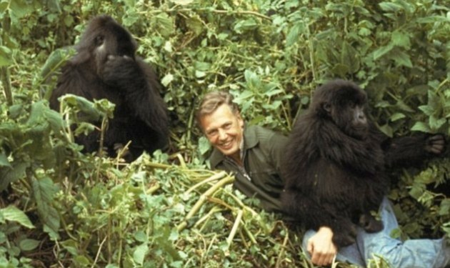 David Attenborough and a pair of African mountain gorillas on the set of his documentary, Life on Earth.