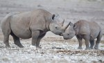 black rhinos, endangered species list, extinct animals