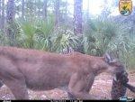 Florida Panther US Fish & Wildlife Service