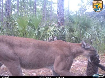 Florida Panther U.S. Fish & Wildlife Service