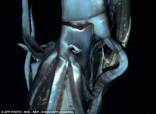 Giant Squid Photo credit: News.Discovery.com