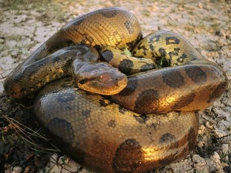 Green Anaconda Florida Everglades 450x337 25 Most Bizarre & Fascinating Animal Facts