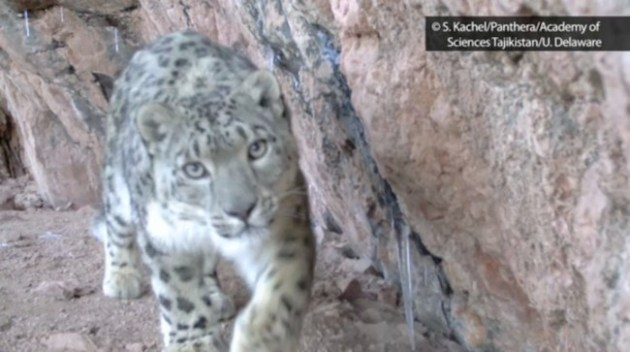 Snow-Leopard-Cub-S.-KachelPantheraAcademy-of-Sciences-TajikistanU.-Delaware