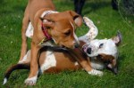 Two Puppies Playing – Puppy Dog Training How To Stop Dogfighting