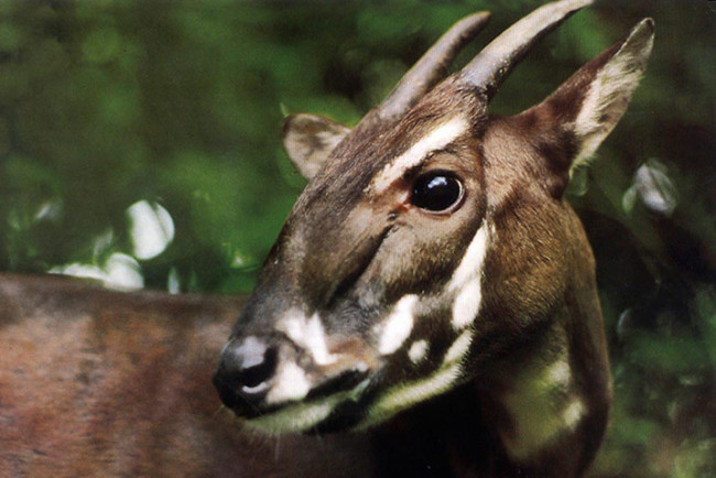 saola, animal pictures, endangered animals
