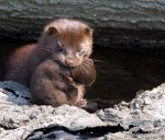 sea minks, minks, american minks, endangered species list, extinct animals
