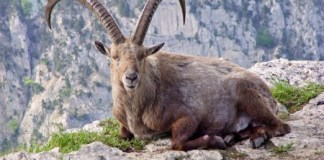 pyrenean ibex, endangered species list, extinct animals