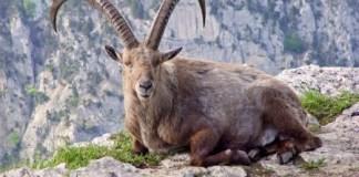 pyrenean ibex, endangered species list, extinct animals