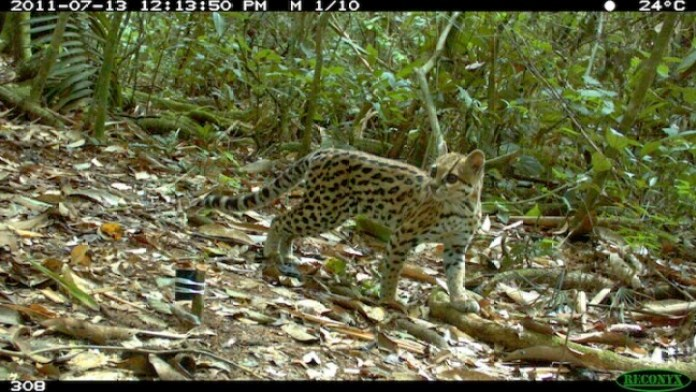 Rare Oncilla cat  Photo credit: Guido Ayala, Maria Viscarra, and Robert Wallace/WCS