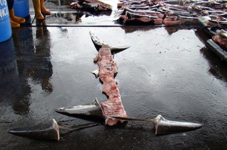 shark finning, shark fin, costa rica, legal loophole