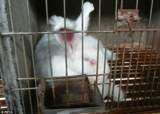 The cages injure the rabbit's feet and the insanitary conditions see many of them, such as this one, suffer infections and illness. Photo Credit: PETA