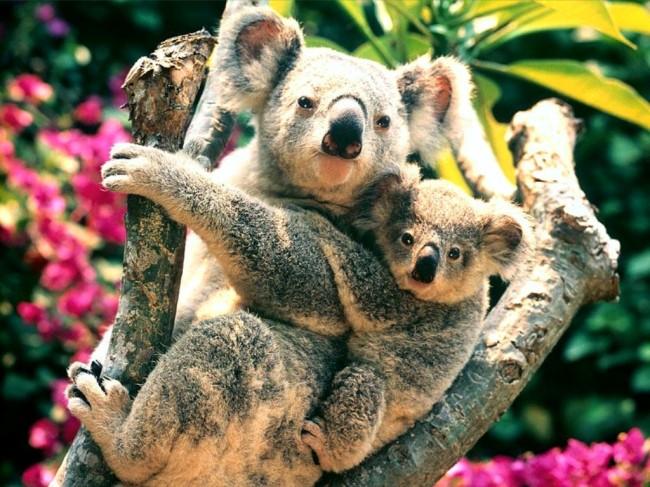 koala, koala bear, animals, australia