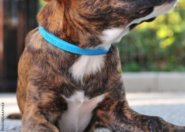 Support the Underdog® Blue Collars are custom designed in silicone rubber and made in the USA. The collar can be trimmed down to size to fit most dogs. Photo Credit: projectbluecollar.com