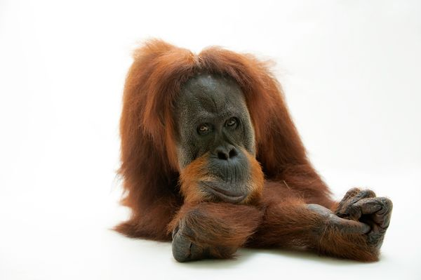 endangered animals, endangered species, animal photography, wildlife photography, pictures of animals, orangutans, animals