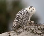 A snowy owl sits on a dune at Little Talbot Island State Park in Florida