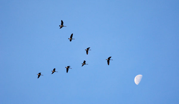 Birds flying in the sky, fly in a V to save energy.